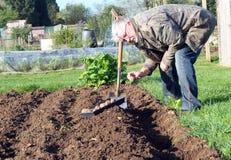 Senior man planting potatoes in the garden. stock image