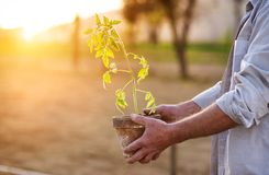 Senior man planting seedlings Stock Images