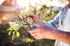 Senior man pruning apple tree Stock Photography