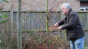 Senior man pruning hedge, side view. stock video