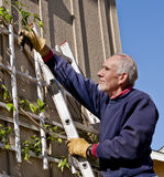 Senior man pruning vine. Senior man on a ladder trimming a vine stock photography