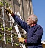 Senior man pruning vine. Senior man on a ladder trimming a vine Stock Photography