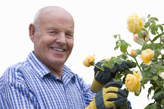 senior man pruning yellow rose bush, cut out Stock Image
