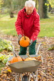 The senior man raises pumpkins in the garden Royalty Free Stock Images