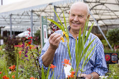 Senior man shopping in garden centre, holding yellow flower, smiling, portrait Royalty Free Stock Photos