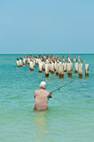 Senior man surf fishing. Off a beach in the gulf of Mexico with brown pelicans standing on wood piling waiting for a free meal Stock Photography