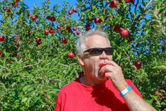 Senior Man Tasting Apple Picked from Tree Royalty Free Stock Photo