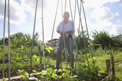 Senior Man Watering Plants In Allotment Stock Photos