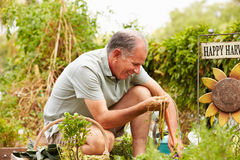 Senior Man Working On Allotment Royalty Free Stock Images