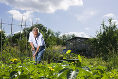 Senior Man Working In Allotment Stock Photos