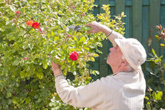 Senior man working in garden Stock Image