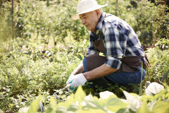 Senior man working in garden Royalty Free Stock Images