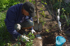 Senior man working in a garden Stock Photography