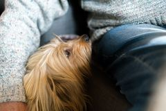 Senior mans hand wrapped around long haired pedigree dog. Blond domestic dog next to elderly man at home indoors, human friend royalty free stock image