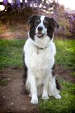 Senior mini australian shepherd dog sits on grassy dirt. A senior mini australian shepherd dog sits very calmly on a landscape of dirt, green grass and weeds Royalty Free Stock Photo