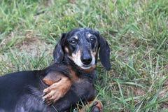 Senior Miniature Black and Tan Dapple Dachshund. In grassy field Stock Images