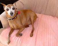 Senior Miniature Pinscher. My miniature pinscher turning white due to his age, but still the ever-alert watch dog stock image