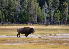 Senior North Amercian Bull Buffalo Royalty Free Stock Image