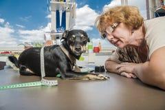 Senior odzieży psi krawczyna Zdjęcie Stock