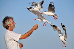 Senior older man hand feeding seagulls sea birds on summer beach holiday. A unique candid action shot of a mature, handsome senior older man that is hand feeding stock photography
