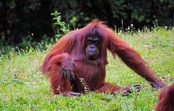 Senior orangutang in Borneo Royalty Free Stock Images