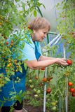 Senior pensioner woman gardening in greenhouse with tomato Stock Images