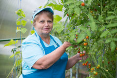 Senior pensioner woman wearing blue apron in greenhouse with tomato Stock Images