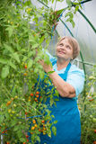 Senior pensioner woman work in greenhouse with tomato Royalty Free Stock Photo