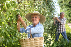 Senior people gathering pears Stock Photo