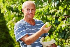Senior picking green apples Stock Photography
