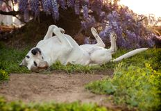 Senior pitbull dog, also known as American Staffordshire Terrier, lays on her back with her feet in air. Elderly pitbull dog lays on back with feet in the air Stock Photo