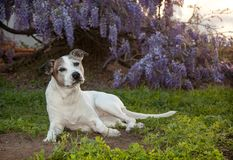 Senior pitbull dog laying on the grass with Wisteria vines. Senior white pit bull dog, otherwise known as an American Staffordshire Terrier, lays on the ground Stock Photos