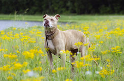 Senior Pitbull Terrier dog smelling yellow flowers royalty free stock images