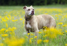 Senior Pitbull Terrier dog in yellow flowers portrait royalty free stock image