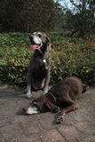 Senior pointer sisters, german shorthaired pointers Stock Images