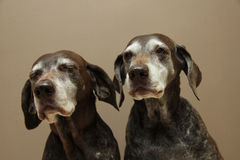Senior pointer Sisters, almost 13 years old Royalty Free Stock Photo