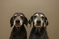 Senior pointer Sisters, almost 13 years old Stock Photography