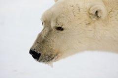Senior Polar Bear Close-up stock image