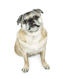 Senior Pug Breed Dog Sitting Looking Forward. Old Pug breed dog sitting on white looking forward into camera Stock Images