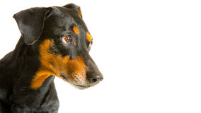 Senior purebred black-and-tan German Pinscher. Beautiful purebred, senior, black and tan German Pinscher dog with uncut ears and slightly grey hairs attentively Stock Photos