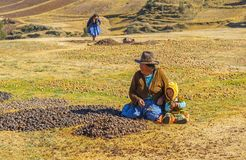 Frost Drying Potatoes by Quechua Indigenous, Peru royalty free stock images