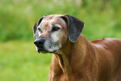 Senior Rhodesian Ridgeback Female stock photo
