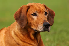 Senior Rhodesian Ridgeback Female Stock Image