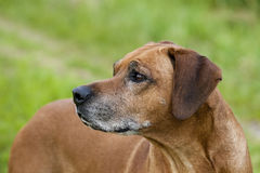 Senior Rhodesian Ridgeback Male Stock Photography