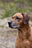 Senior Rhodesian Ridgeback Male royalty free stock photos