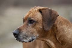 Senior Rhodesian Ridgeback Male Royalty Free Stock Photo