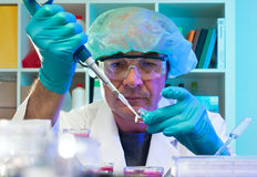 Senior scientist makes cell culture experiment Royalty Free Stock Images