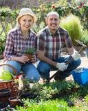 Senior smiling couple engaged in gardening. In the backyard garden Stock Image
