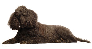 Senior standard poodle Stock Image