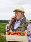 Senior in Strawberry Field. Senior holding wooden box of strawberries and eating picked strawberry in field Royalty Free Stock Photography